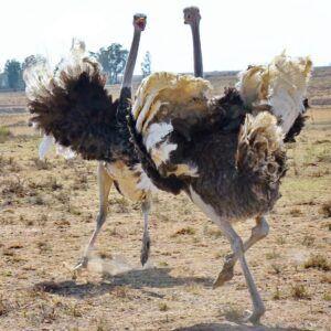 arguing ostriches